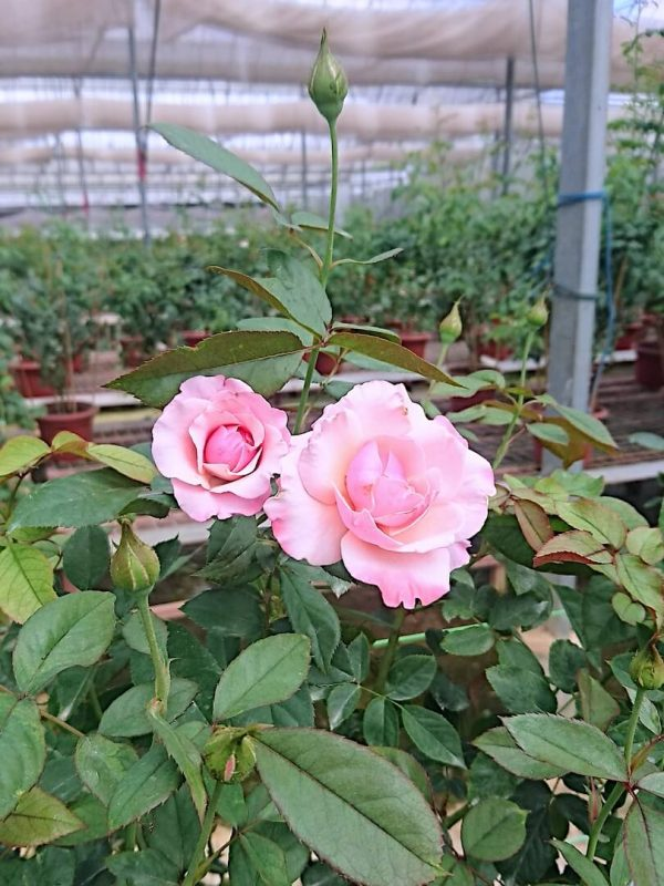 'Our Lady of Guadalupe (OLOG)' Roses and Buds » Rose Plants