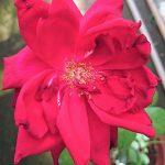 Rosa 'Oklahoma' » Rose Plants