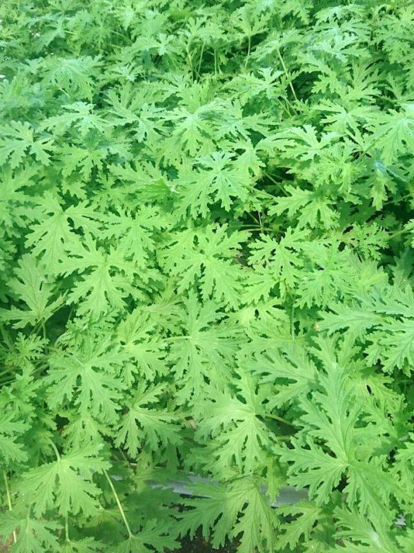 Pelargonium Leaves » Herbs 'n' Spices