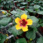 Hibiscus Petit Orange
