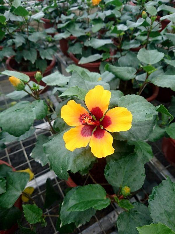HibisQs® - Petit Orange Hibiscus » Flowering Plants