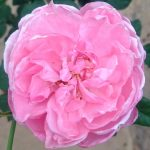 'Plume' Rose
