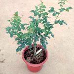 'Plume' Rose Plant » Rose Plants