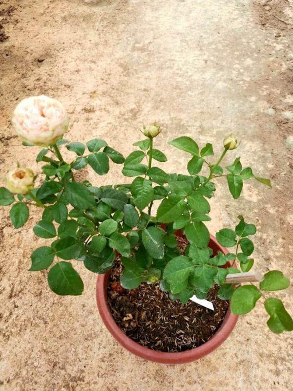 'Pride of Jane' Rose Plant » Rose Plants