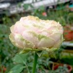 'Pride of Jane' Rose » Rose Plants