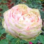 'Pride of Jane' Rose