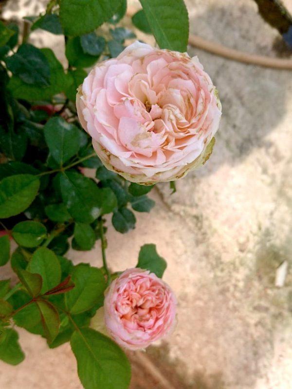 'Pride of Jane' Roses » Rose Plants