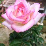 'Princesse de Monaco' Rose Tree