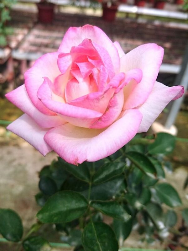 Rosa 'Princesse de Monaco' » Rose Plants