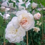 'Prosperity' Rose
