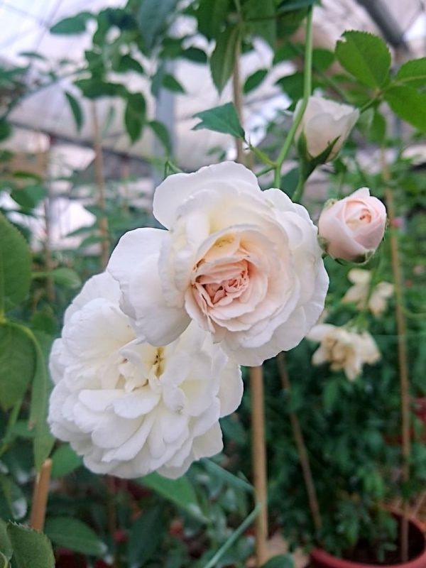 Rosa 'Prosperity' » Rose Plants