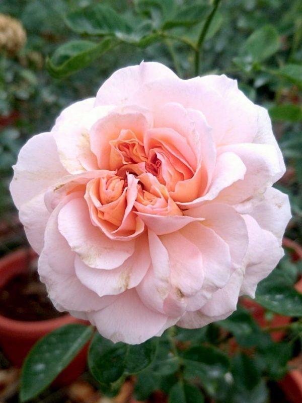 'Psyche' Rose » Rose Plants
