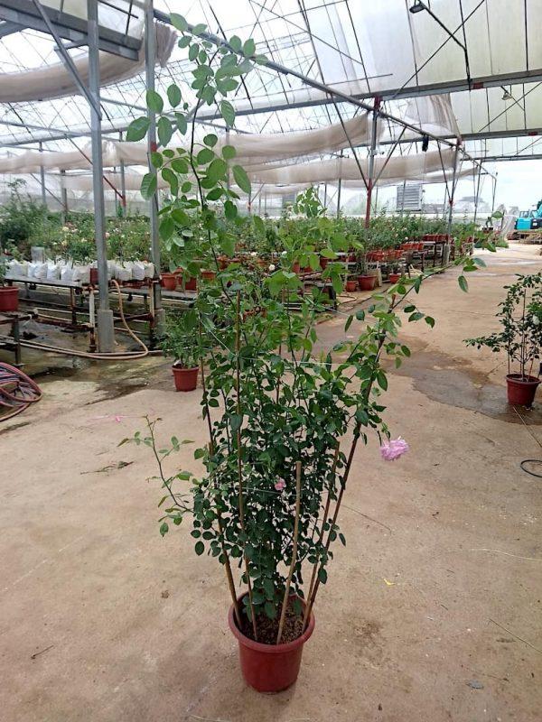'Rainy Blue' Rose Plant (Height: 1.8 m) » Rose Plants