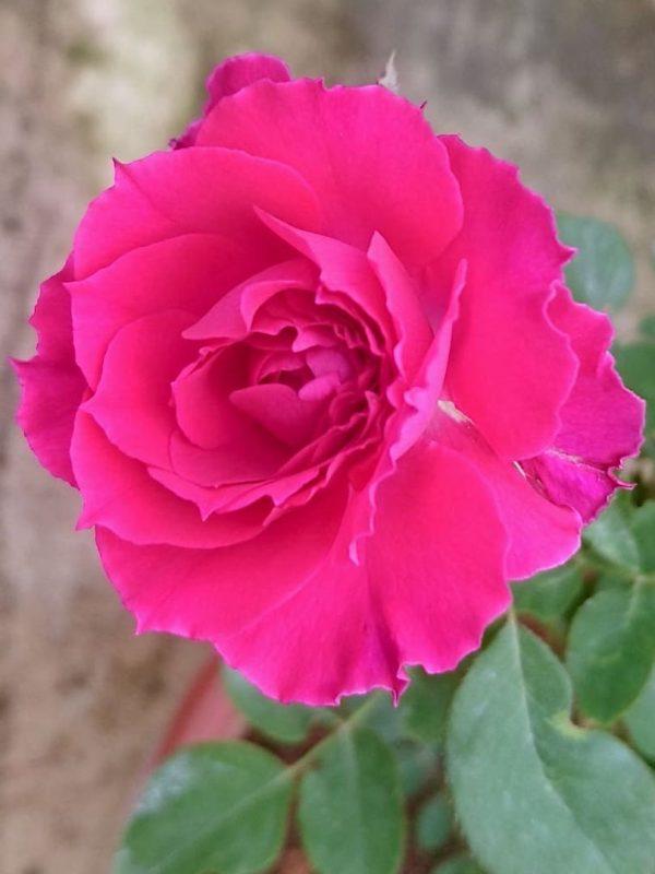 Japanese Rose 'Ramukan' Blooming » Rose Plants