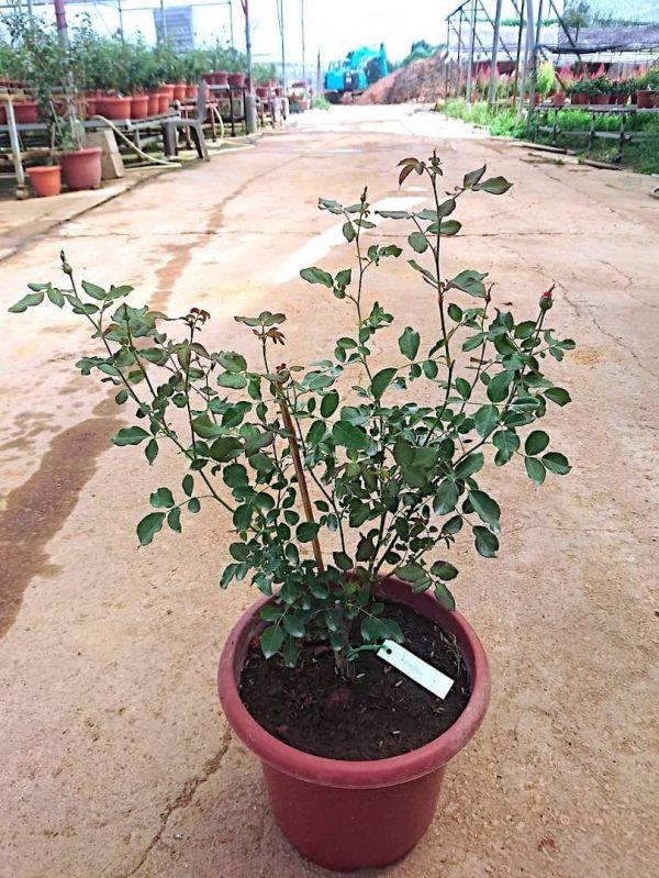 'Ramukan' Rose Plant » Rose Plants
