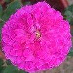 'Ramukan' Rose