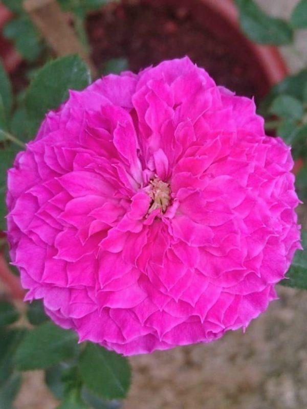 Japanese Rose 'Ramukan' » Rose Plants