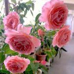 'Romantic Tutu' Rose