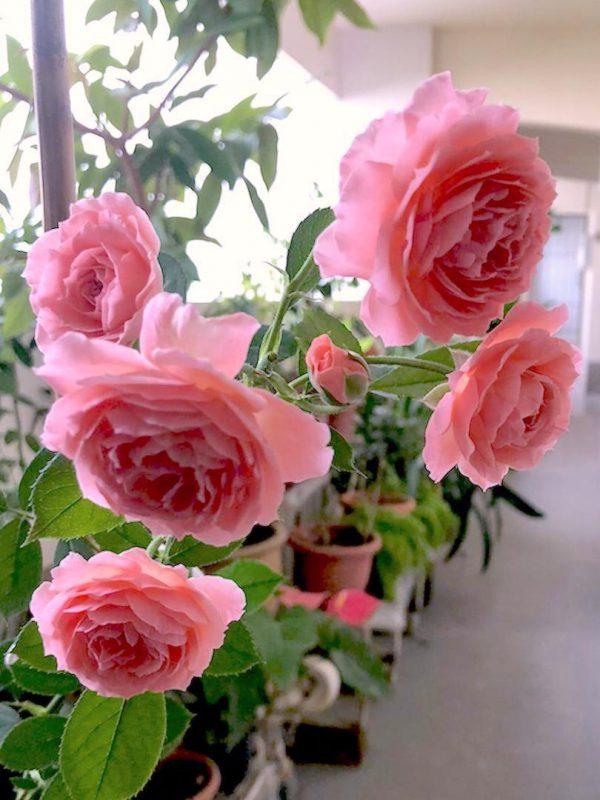 'Romantic Tutu' Roses at HDB