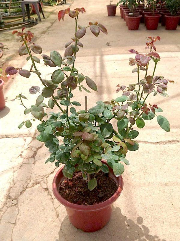 'Rouge Royale' Rose Plant » Rose Plants