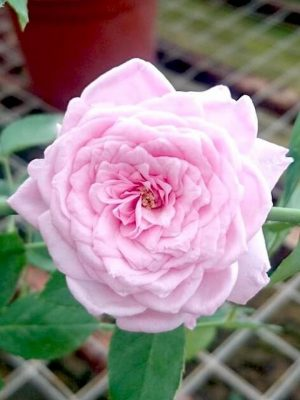 'Souvenir de la Malmaison' (SDLM) Rose