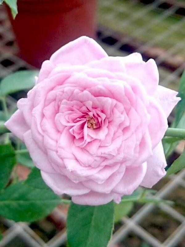 Rosa 'Souvenir de la Malmaison' (SDLM) » Rose Plants