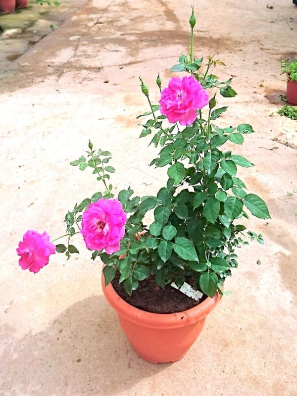 'Scheherazade' Rose Plant with 3 Flowers and 5 Buds » Rose Plants