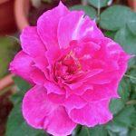 'Scheherazade' Rose