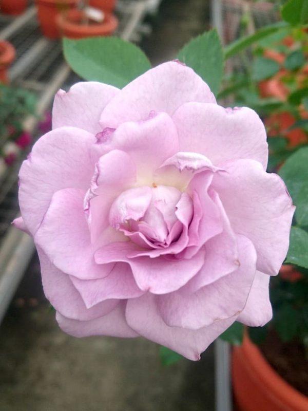 Japanese Rose 'Seiryu' » Rose Plants
