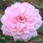 'Sweet Antike' Rose