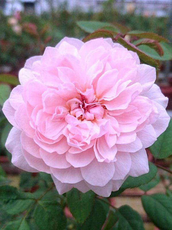 'Sweet Antike' Rose » Rose Plants' Rose » Rose Plants