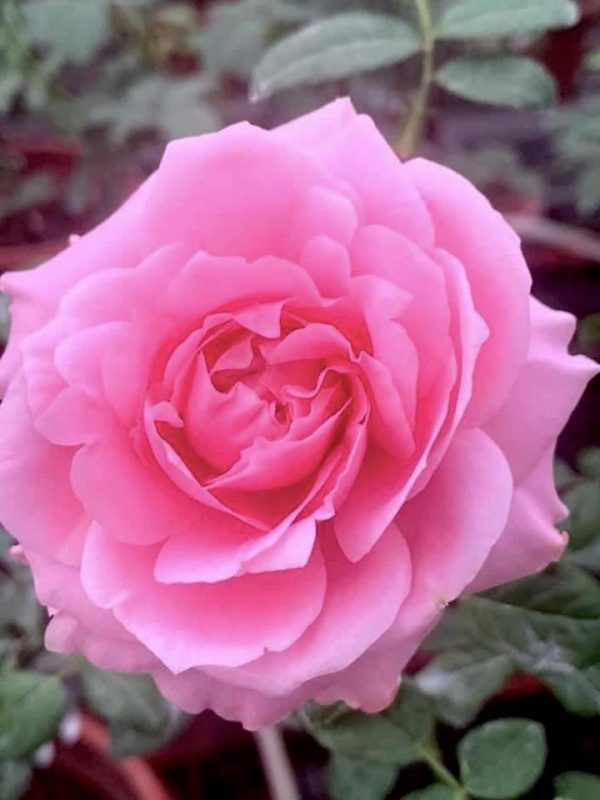 'Sweet Lady' Rose » Rose Plants