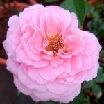 'Sweet Lady' Rose