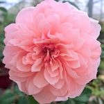 'The Alnwick Rose'