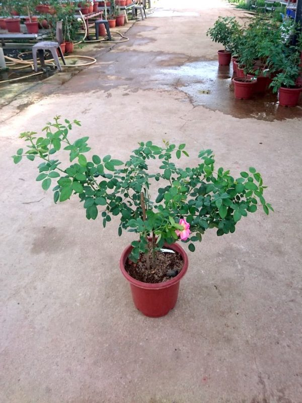 'The Endeavour' Rose Plant » Rose Plants