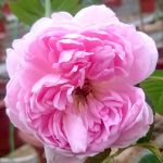 'The Ingenious Mr. Fairchild' Rose