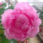 'Towa Parfan' Rose