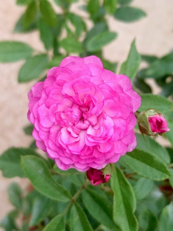 Rosa 'Vineyard Song' » Rose Plants