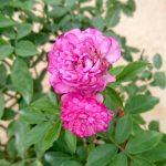 'Vineyard Song' Rose