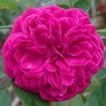 'William Shakespeare 2000' Rose