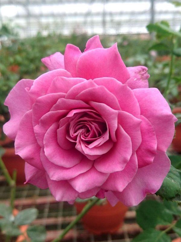 Japanese Rose 'Yume Murasaki' » Rose Plants