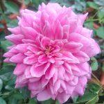 'Yume Murasaki' Rose