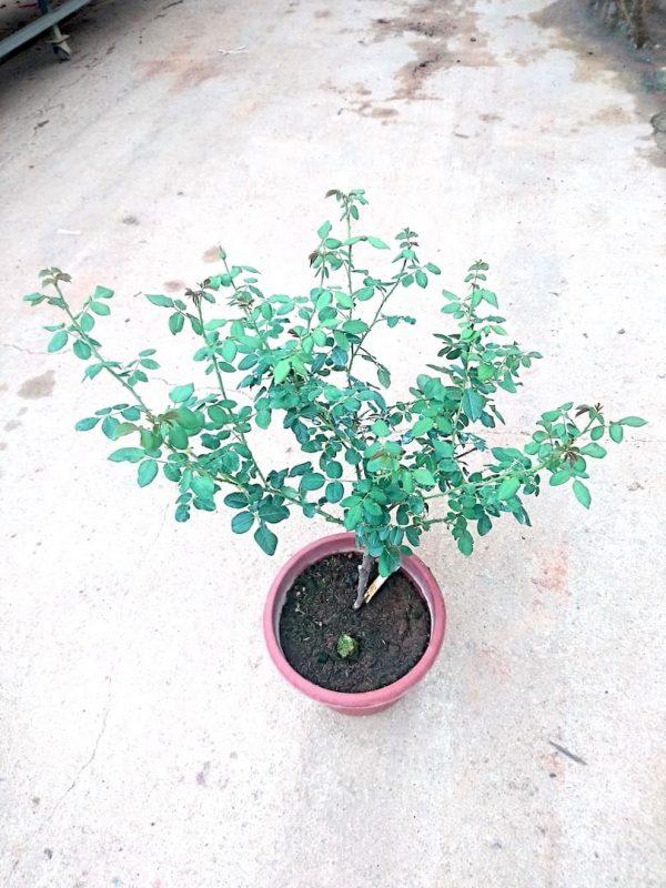 Abraham Darby' Rose Plant » Rose Plants
