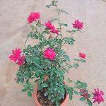 'Alcina' Rose