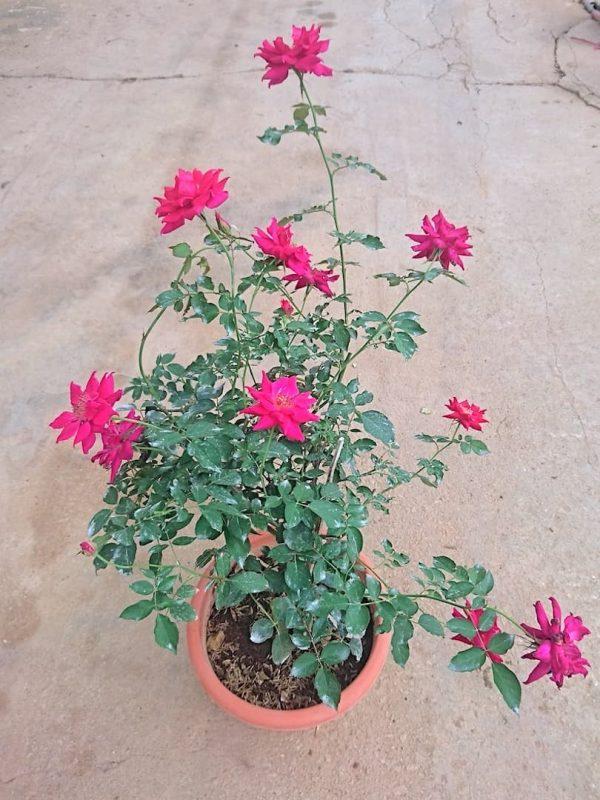 'Alcina' Rose Plant » Rose Plants