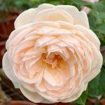 'Alexandrine' Rose