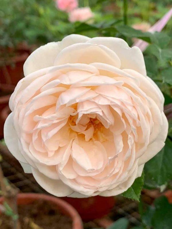 Rosa 'Alexandrine' » Rose Plants