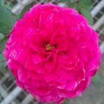 'Artly Close' Rose