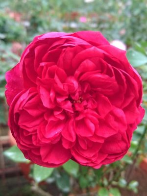 'Autumn Rouge' Rose