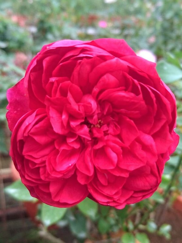 Japanese Rose 'Autumn Rouge' » Rose Plants
